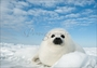 Harp Seal Pup Christmas Cards
