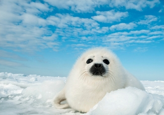 Harp Seal Pup Holiday Cards