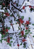 Holly Branches in Snow Christmas Cards