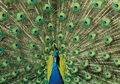 Indian Peafowl Male Notecard