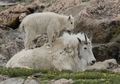 Mountain Goats Notecard