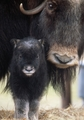 Musk Ox Cow with Calf Notecard