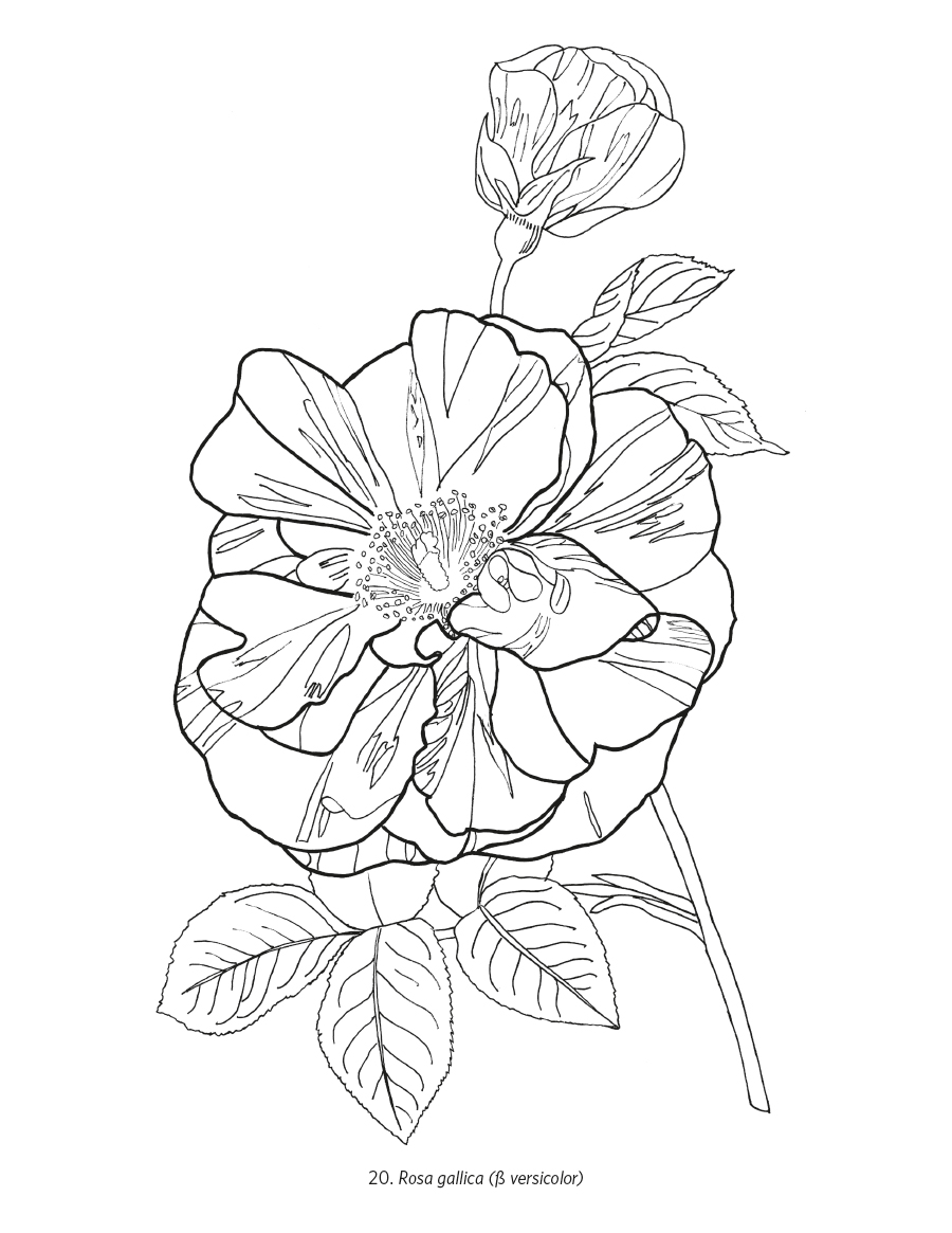 orchids amp roses coloring book