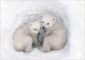 Polar Bear Cubs Christmas Cards