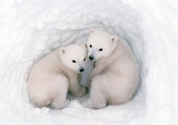 Polar Bear Cubs Holiday Cards