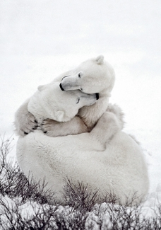 Polar Bear Embrace Holiday Cards