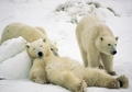 Polar Bear Trio Loafing in Snow Holiday Cards