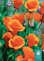 Poppies Boxed Notecards