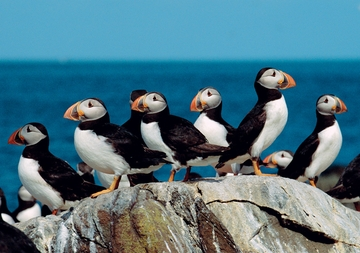 Puffins Boxed Notecards