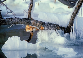 Red Fox on Waskesiu Lake Christmas Cards