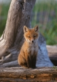 Red Fox Pup Notecard