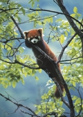 Red Panda Notecard