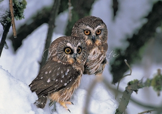 Saw-Whet Owls Christmas Cards