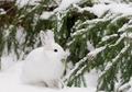 Snowshoe Hare Feeding on Fir Holiday Cards