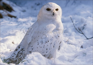 Snowy Owl Christmas Cards