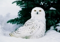 Snowy Owl Male in Snow Holiday Cards