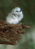 White Tern Chick Notecard
