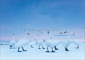 Whooper Swans Christmas Cards