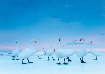 Whooper Swans Holiday Cards