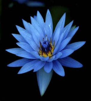 Blue Lotus Oil (absolute) -India (Nymphaea caerulea)