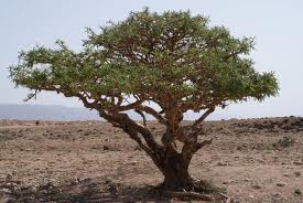 Frankincense Essential Oil: Kenya (Boswellia Neglecta)