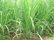 Lemongrass Essential Oil (Cymbopogon citratus) Guatemala  New for 2012!
