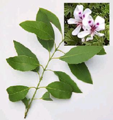 Sandalwood Essential Oil - Australia