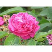 Summer Rose Attar : India (Rosa Damascena)