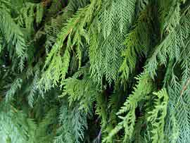 Western Red Cedar Tips - United States
