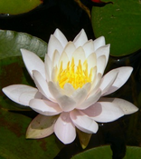 White Lotus Oil  - (absolute) - per ml: India (Nelumbo nucifera)