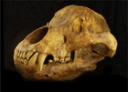 European Cave Bear Skull Replica for Sale - XL