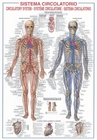 Circulatory System - Biology Poster