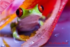"""Curious World"" Red-eyed Frog Poster"