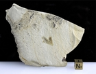 Eocene Feather Fossil For Sale