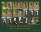 Metamorphosis of the Monarch Butterfly