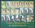 Metamorphosis of the Monarch Butterfly - Black Frame