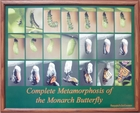 Monarch Metamorphosis Walnut Framed