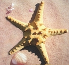 Real - Giant Horned Starfish