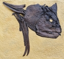 Xiphactinus Fossil Fish Skull Wall Display