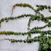 Ivy on Wall 12 x 12 Paper