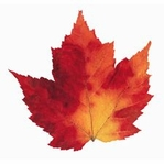Maple Leaf Varigated Die-Cut