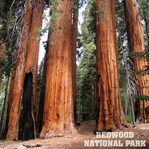 National Park: Redwood 12 x 12 Paper
