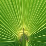 Palm Frond 12 x 12 Paper