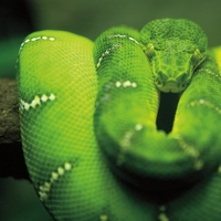 Visiting the Zoo: Emerald Tree Boa 12 x 12 Paper