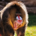 Visiting the Zoo: Mandrill 12 x 12 Paper