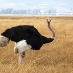 Visiting the Zoo: Ostrich 12 x 12 Paper