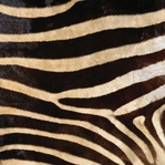 Zebra Stripes 12 x 12 Paper