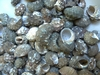 12x19mm Sea Shell Beads choice of 80 grams or 160 Grams