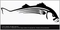 Steelfin Striped Bass Decals