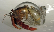 Clear Hand Blown Glass Hermit Crab Shell